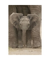 Poster baby olifant 91 x 61 cm