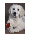 Poster Labrador hond met roos 61 x 91 cm