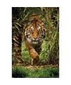 Poster Siberische tijger 91 x 61 cm